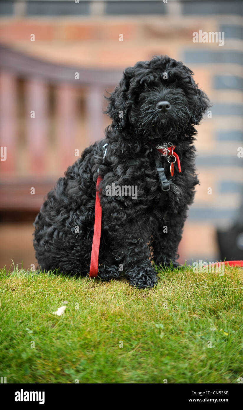 Black Cockapoo High Resolution Stock Photography And Images Alamy