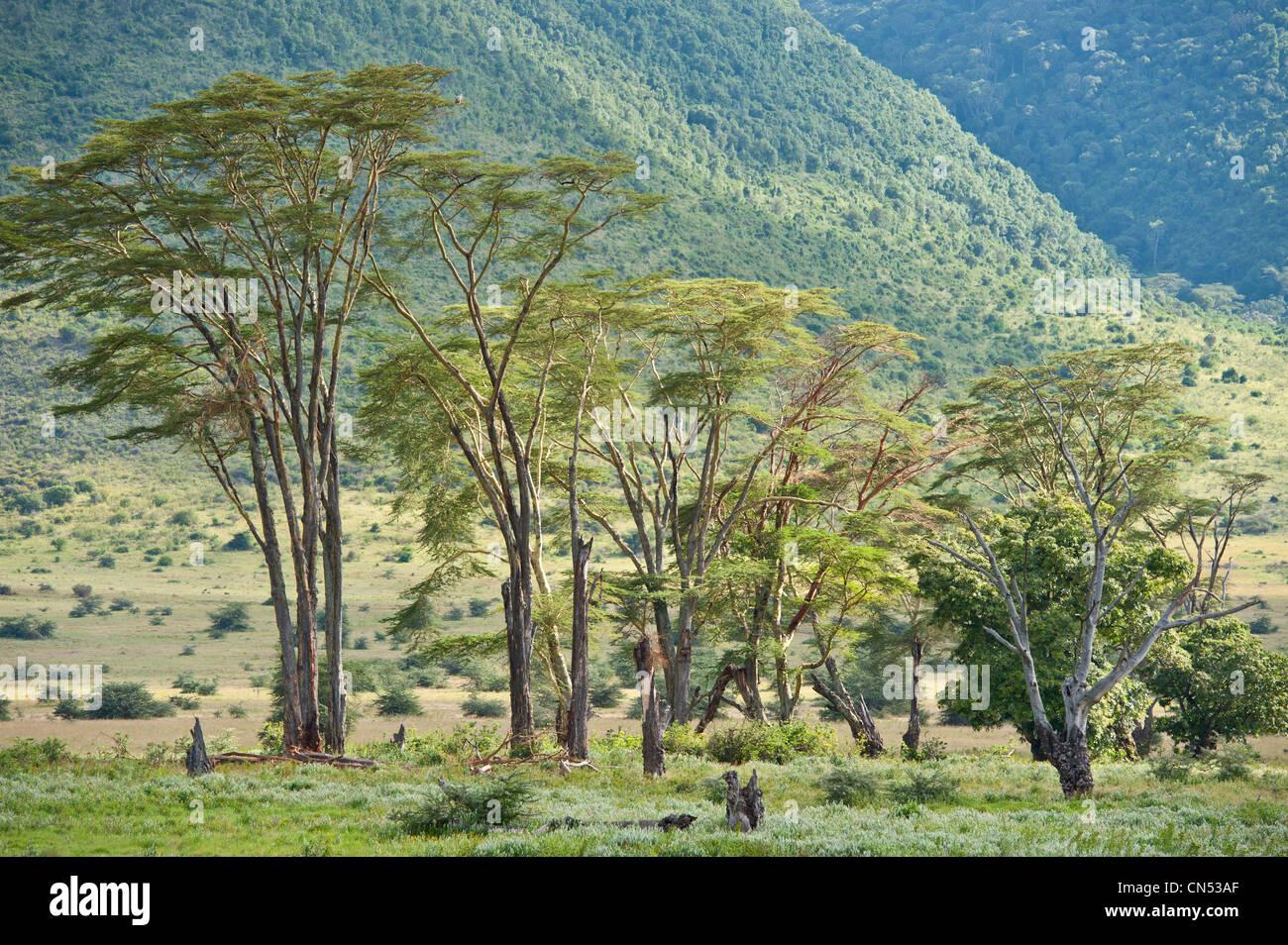 Tanzania, Arusha Region, Ngorongoro Conservation Area, listed as World Heritage by UNESCO, the Ngorongoro crater, - Stock Image