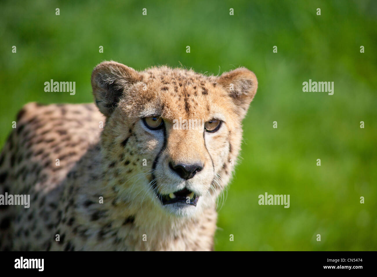 Cheetah out hunting - Stock Image