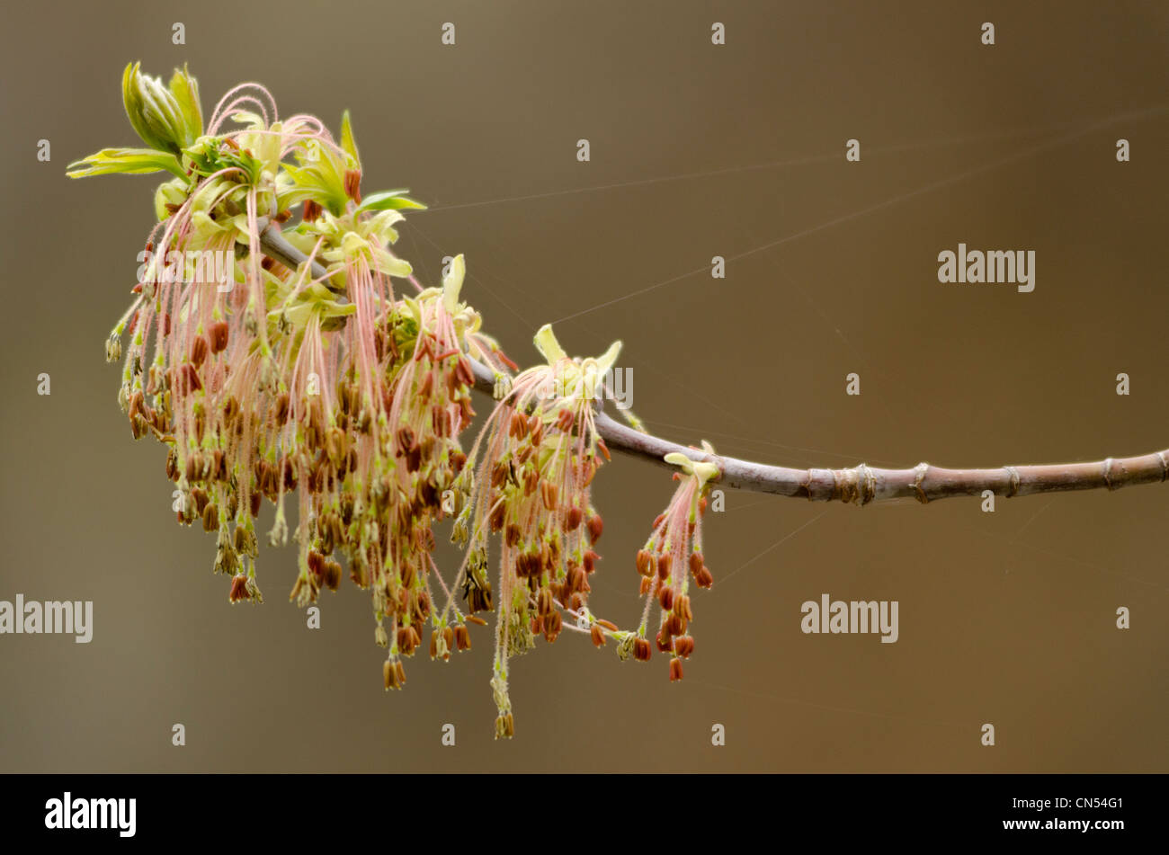 Box elder bloom, Imnaha Canyon, Oregon. - Stock Image