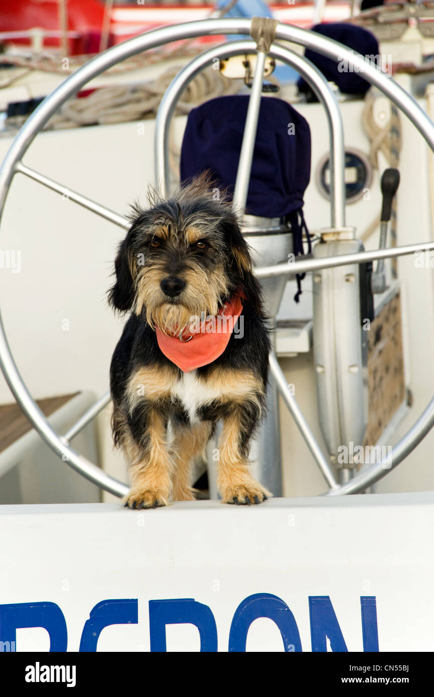 Long haired terrier dog standing on the stern of a yacht looking cute - Stock Image
