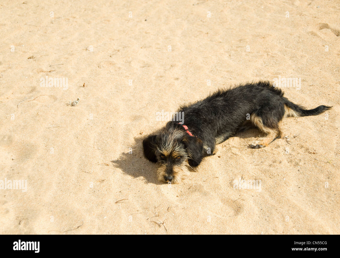 Very attractive long haired terrier dog dlying on beach looking cute, Spain - Stock Image