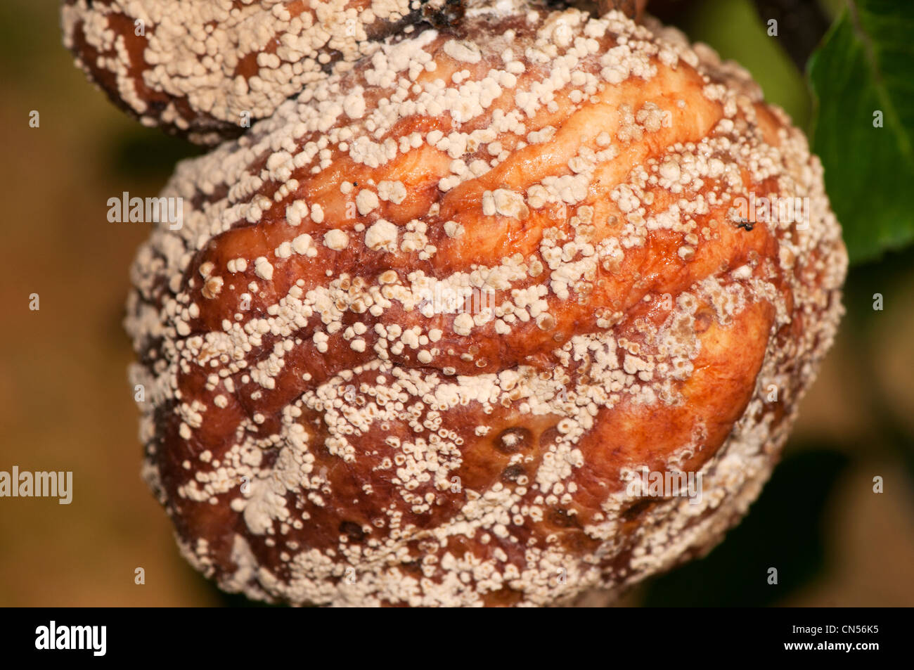 monilia fructigena, brown fruit rot, on apple - Stock Image