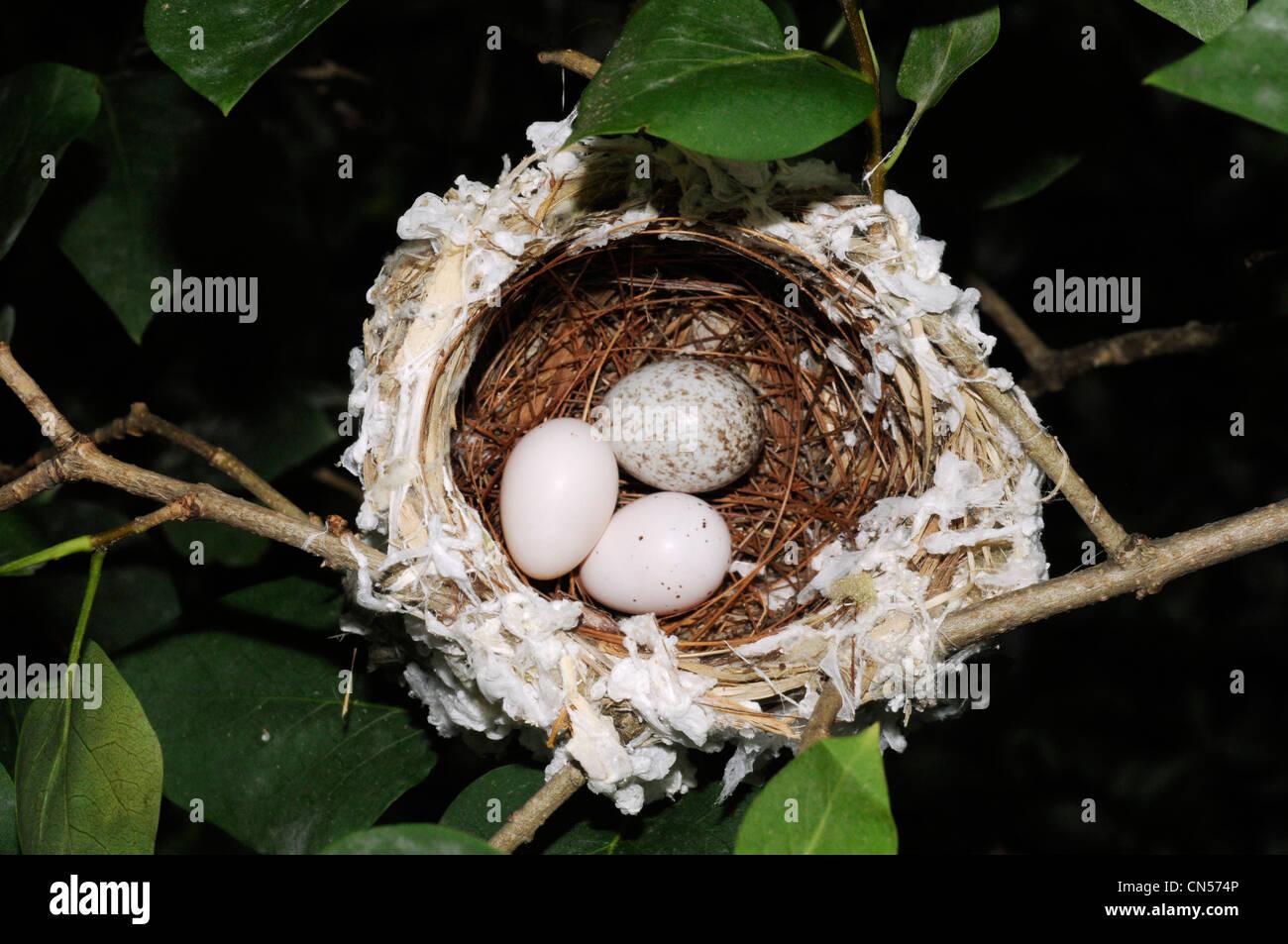 Red eyed vireo nest - photo#51