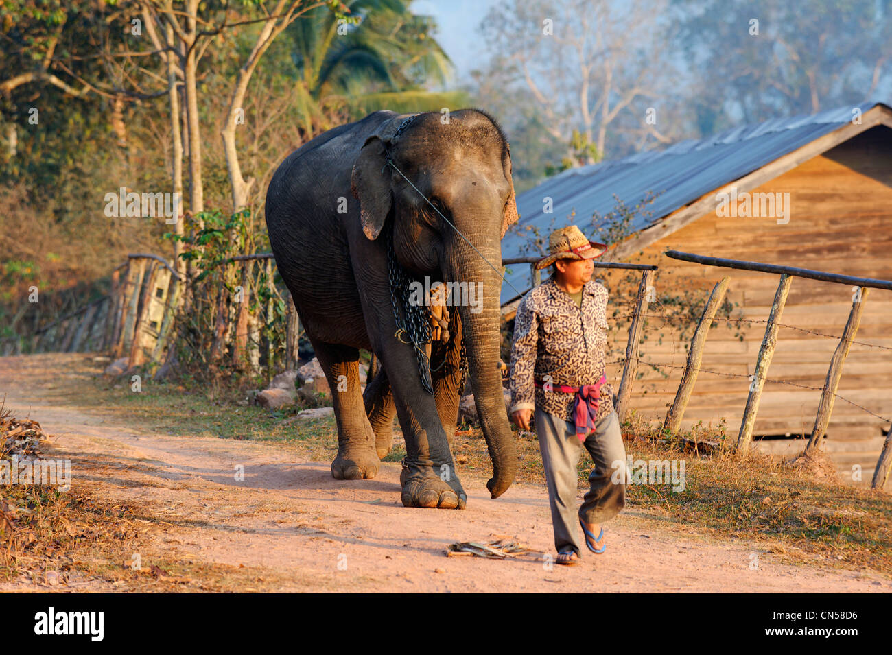 Laos, Sainyabuli Province, Ban Nam Thap, mahout and his elephant back fields - Stock Image