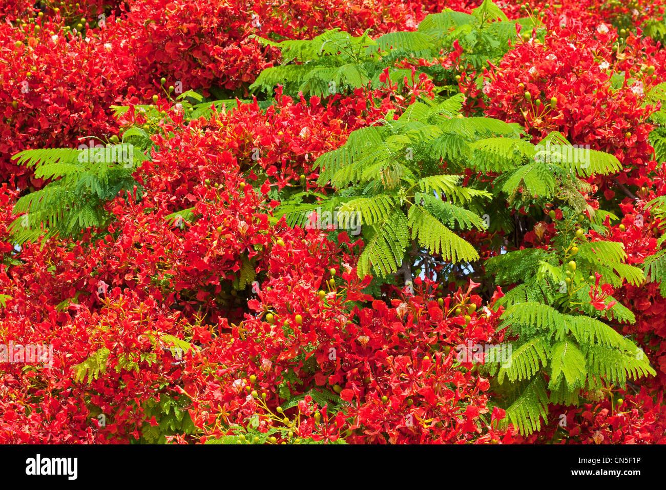 Israel, Tel Aviv, Bot flame tree (delonix regia) blossoming - Stock Image