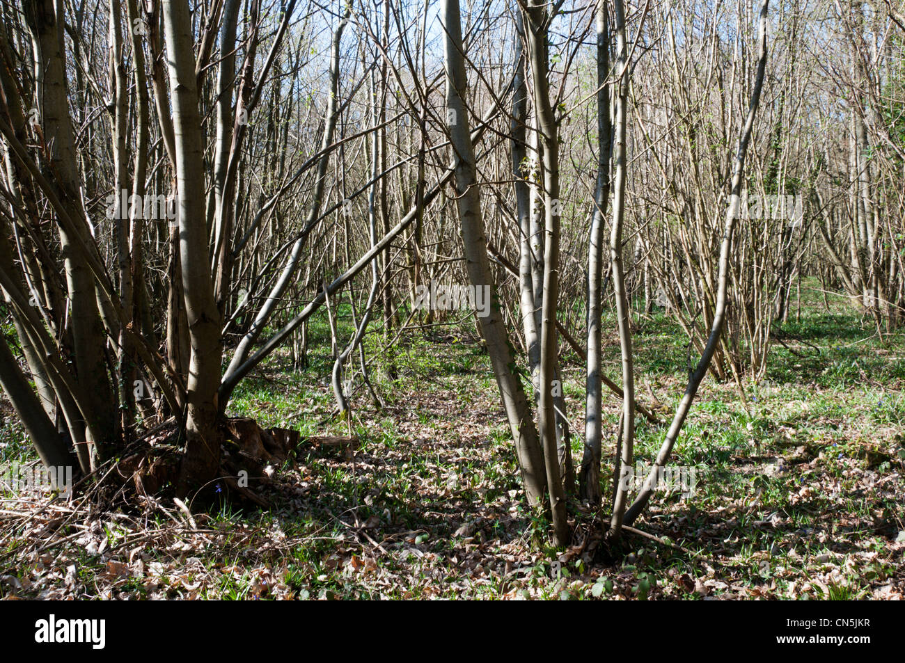 Chestnut coppice, usually to be cut for palings. Stock Photo