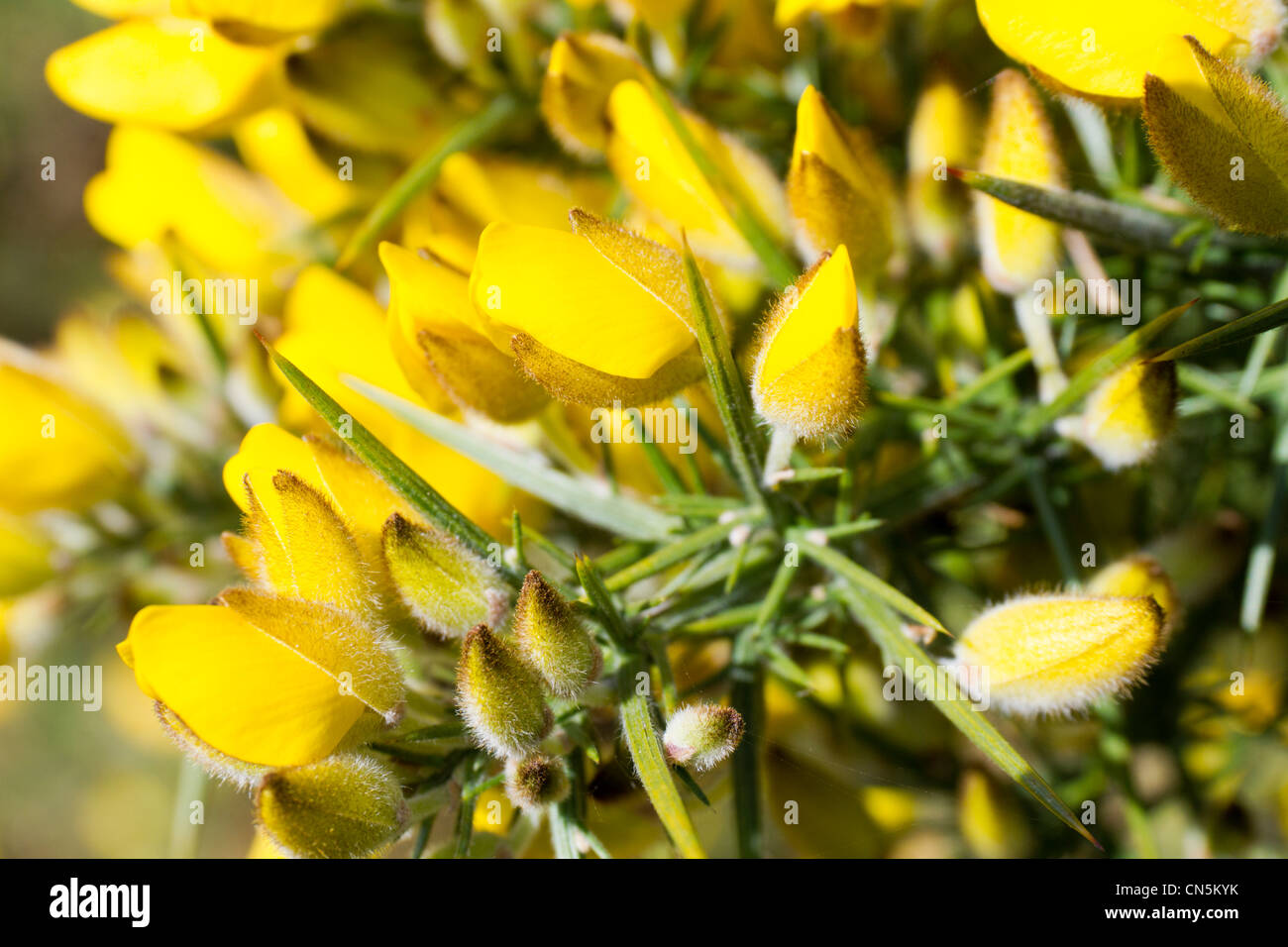 Gorse bushes just coming into flower - Stock Image