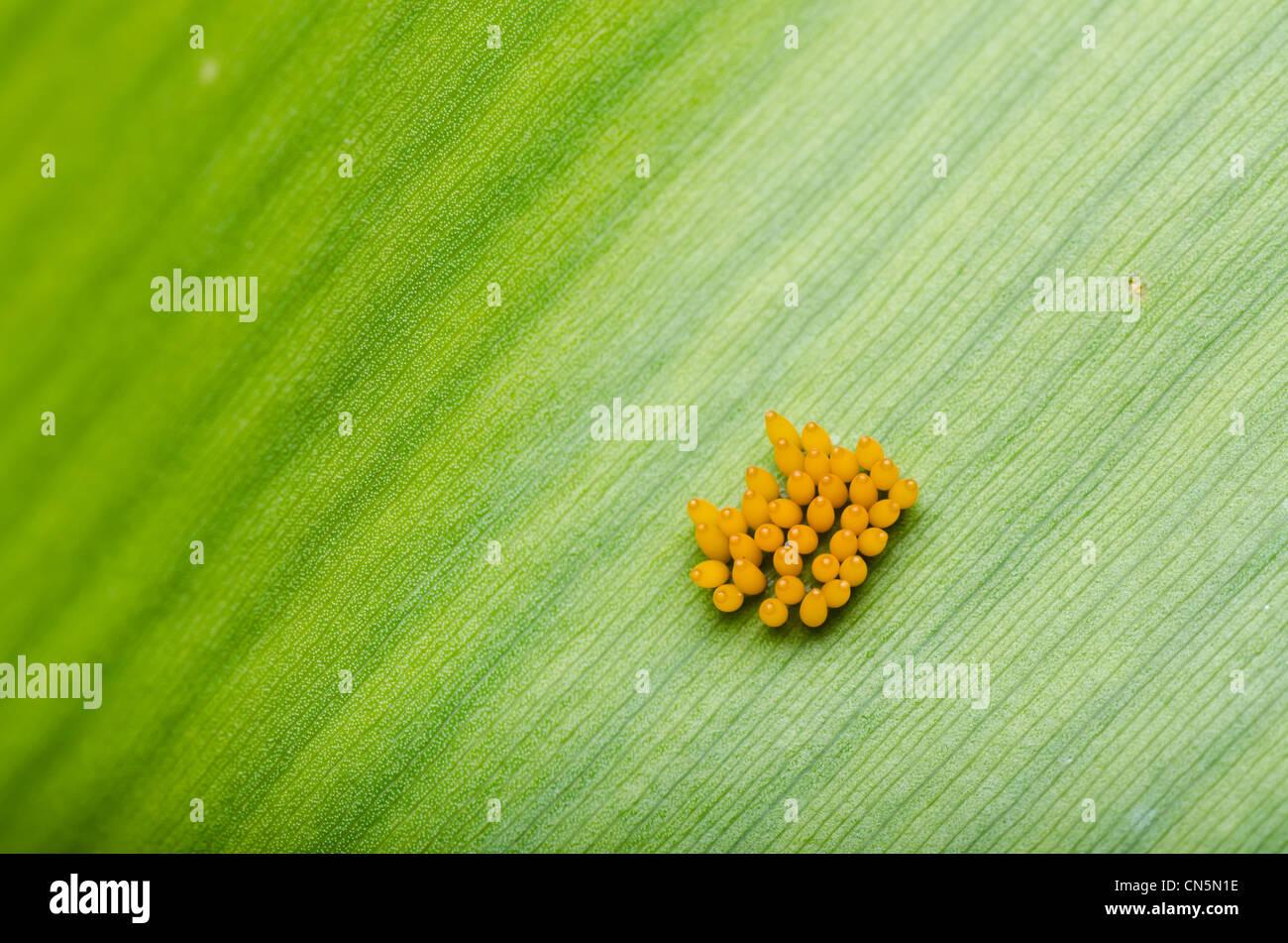 Ladybug egg on leaf in green nature Stock Photo