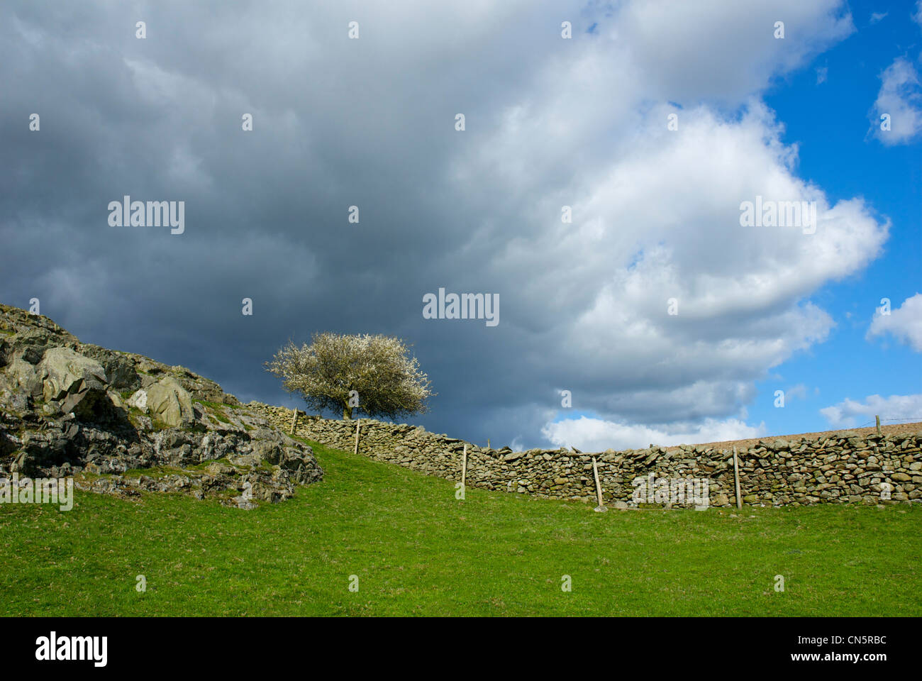 Hawthorn tree coming into blossom, near Ulverston, Cumbria, England UK - Stock Image