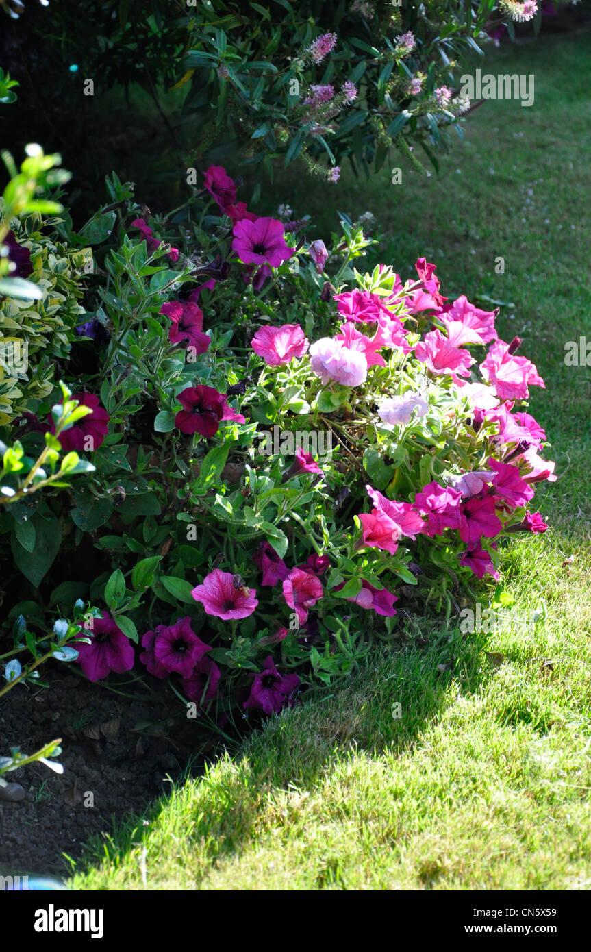 Petunia in flower sun lite England garden - Stock Image