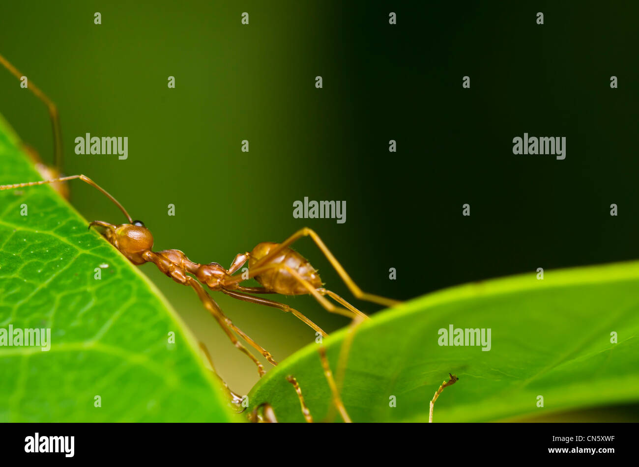 red ant so tired weak hard work - Stock Image