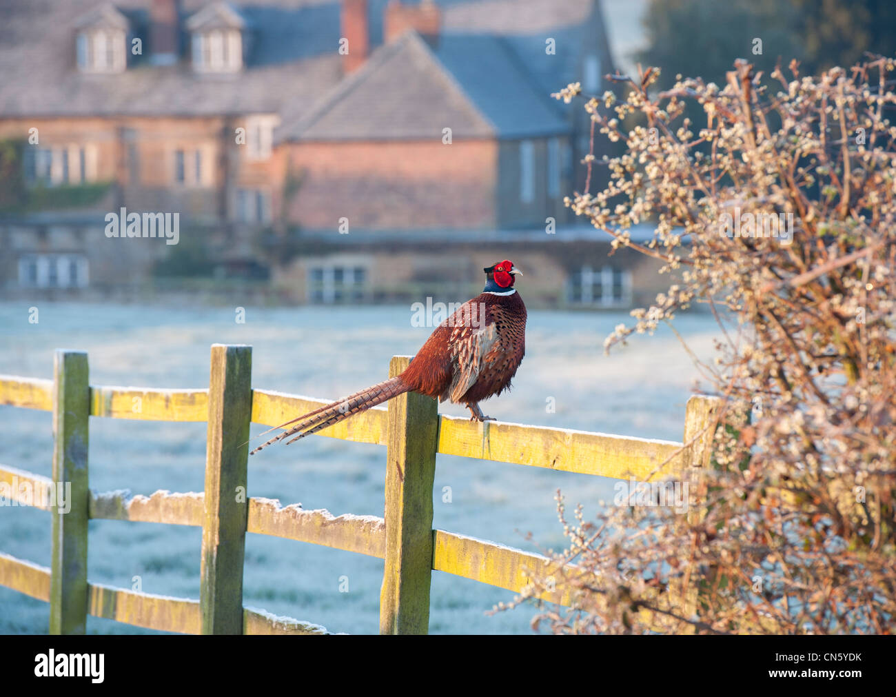 Winter Pheasant Uk Stock Photos & Winter Pheasant Uk Stock Images ...