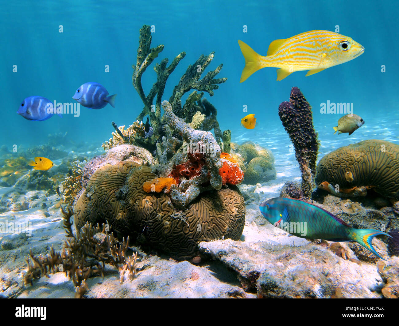 Colorful marine life underwater in the Caribbean sea with coral, tropical fish and sponges, Mexico - Stock Image