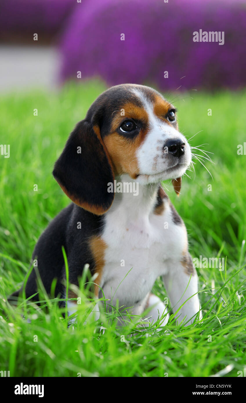 pedigree beagle dog playing outside in the grass - Stock Image