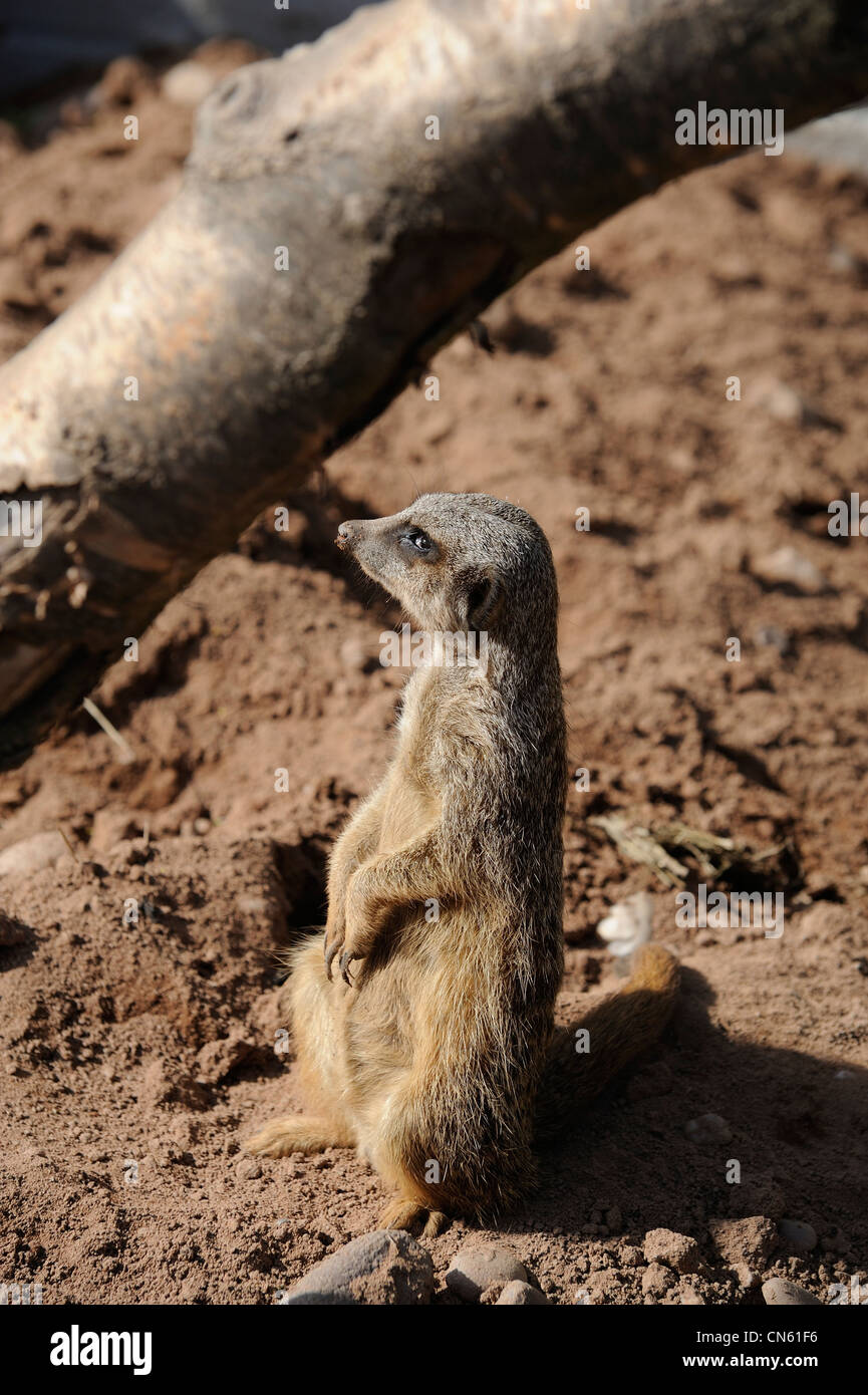 meerkat looking out of the corner of its eye just before it turned to face me. white post farm nottinghamshire england - Stock Image