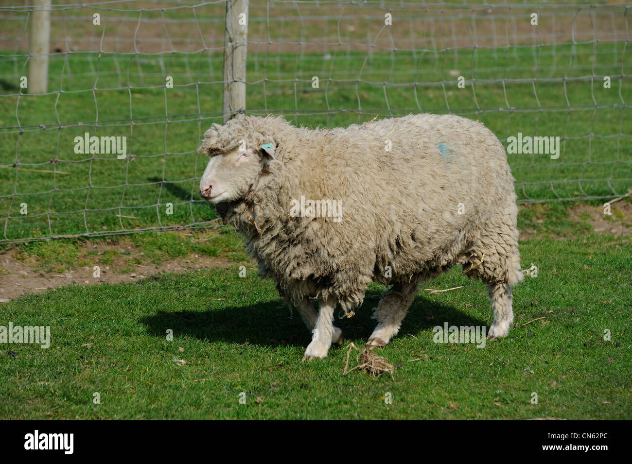 sheep in a field white post farm nottinghamshire england uk - Stock Image