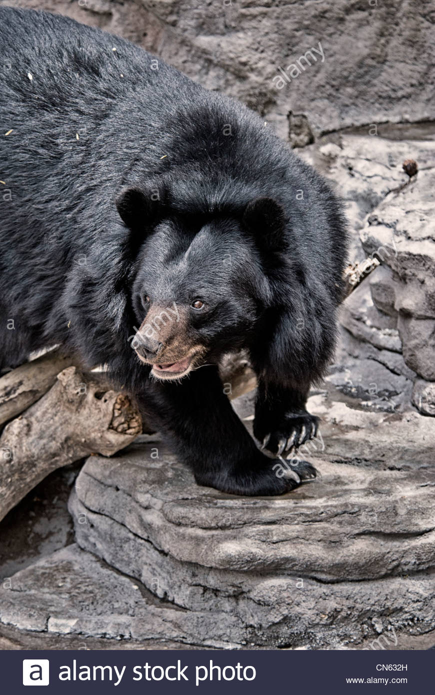 Asiatic Black Bear, Ursus thibetanus,  Denver Zoo, Denver, Colorado, USA - Stock Image
