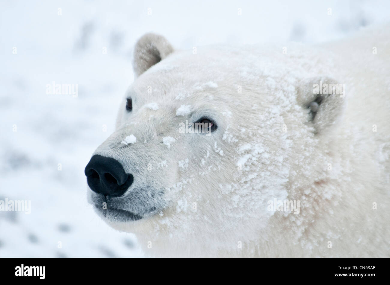 Polar Bear, Ursus maritimus, Wapusk National Park, near Hudson Bay, Cape Churchill, Manitoba, Canada - Stock Image