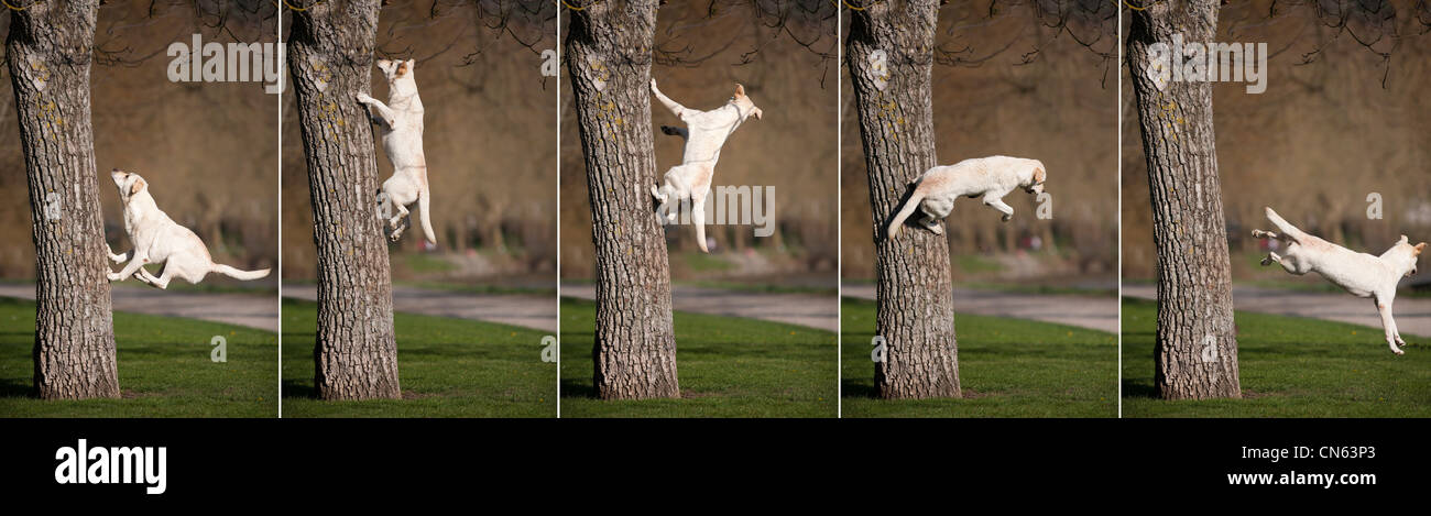 A sequence showing a Labrador retriever jumping from a tree in a Park of Vichy (France). Sauts de Labrador depuis - Stock Image
