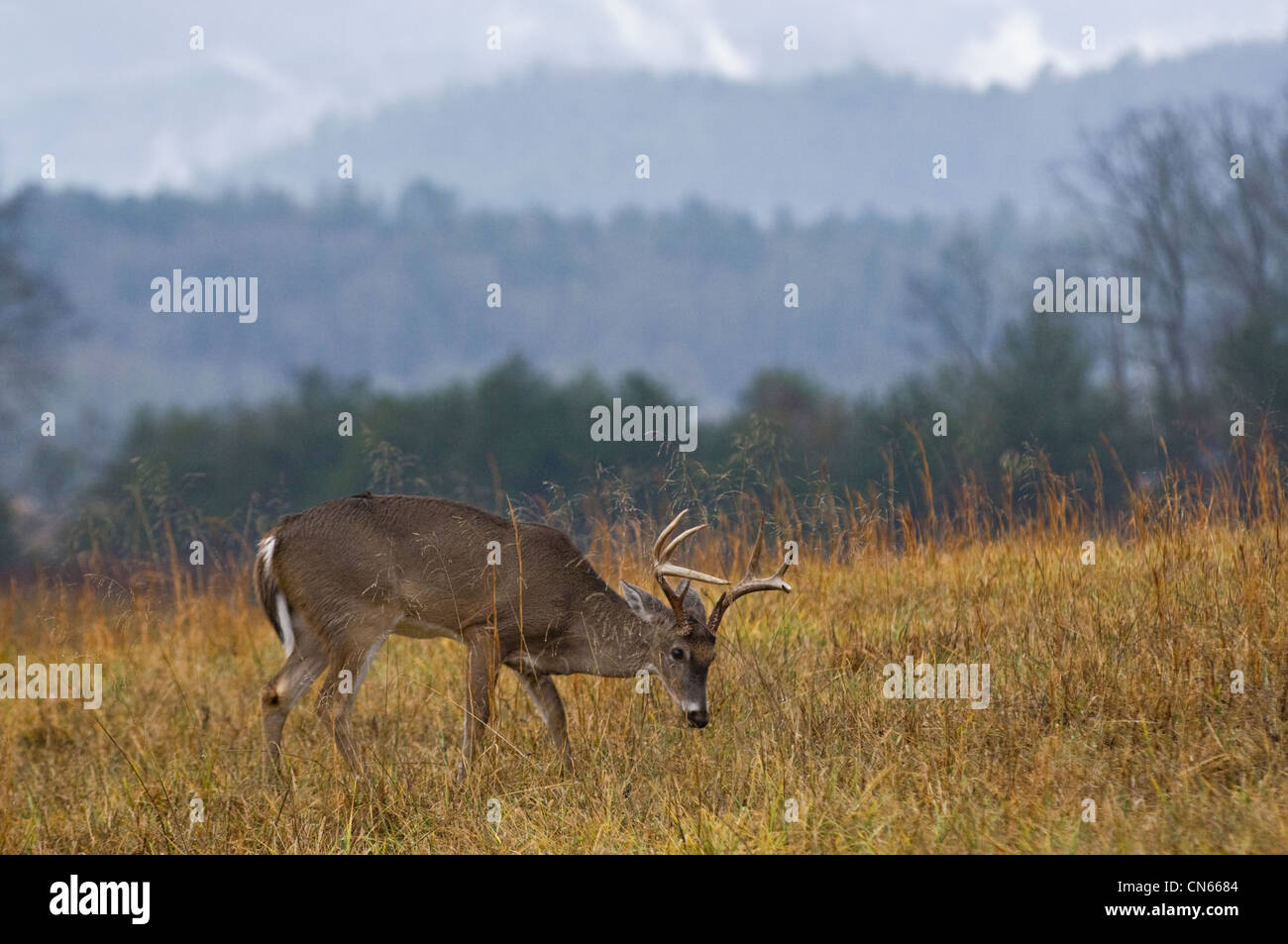 White-tailed Deer Buck in Cades Cove in the Great Smokey Mountains National Park in Tennessee - Stock Image