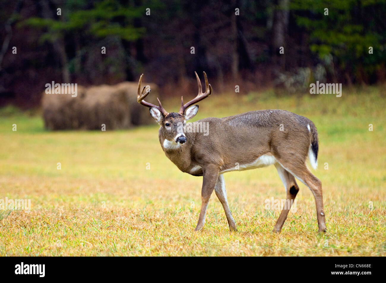 White-tailed Deer Buck in Cades Cove in the Great Smokey Mountains National Park in Tennessee Stock Photo