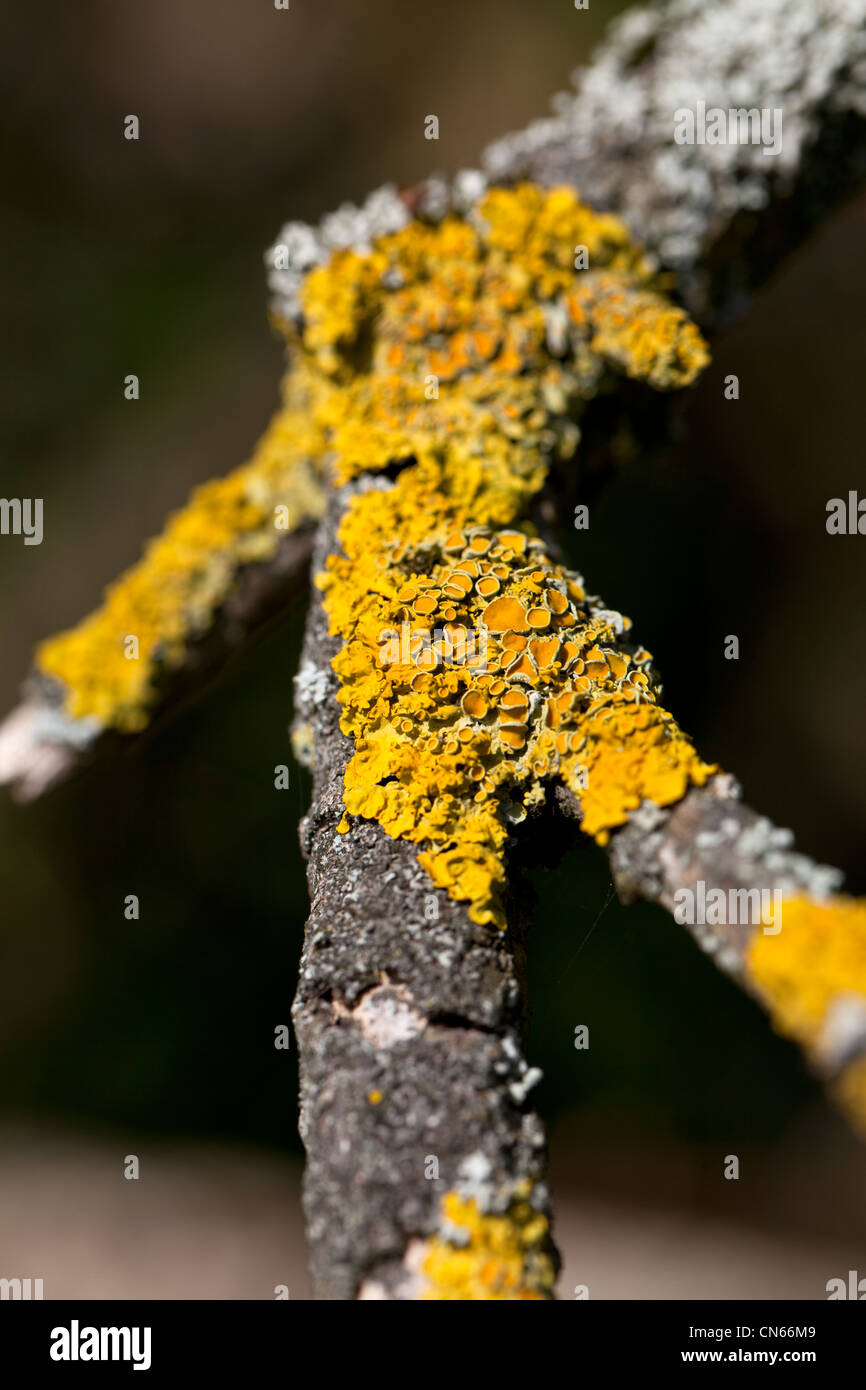 Lichen (Xanthoria parietina) growing on a tree branch. - Stock Image