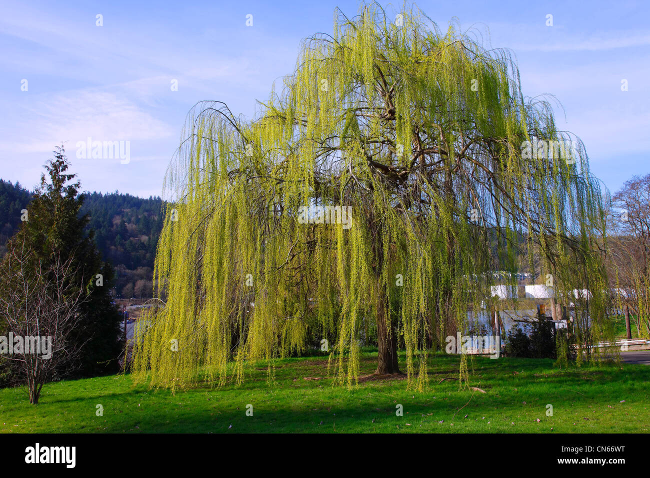 Weeping Willow tree in a park. Stock Photo