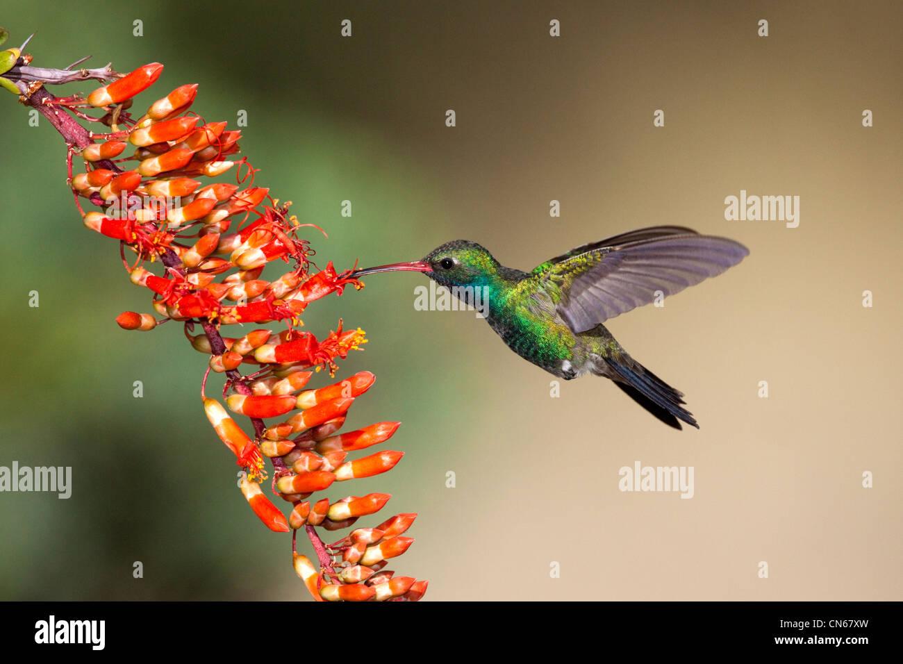 Broad-billed Hummingbird Cynanthus latirostris Madera Canyon, Santa Rita Mountains, Arizona, United States 18 May - Stock Image