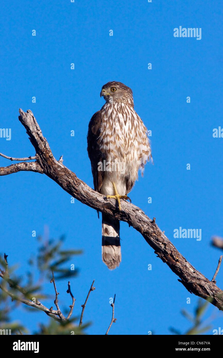 Cooper's Hawk Accipiter cooperii Tucson, Arizona, United States 31 May Immature Accipitridae - Stock Image