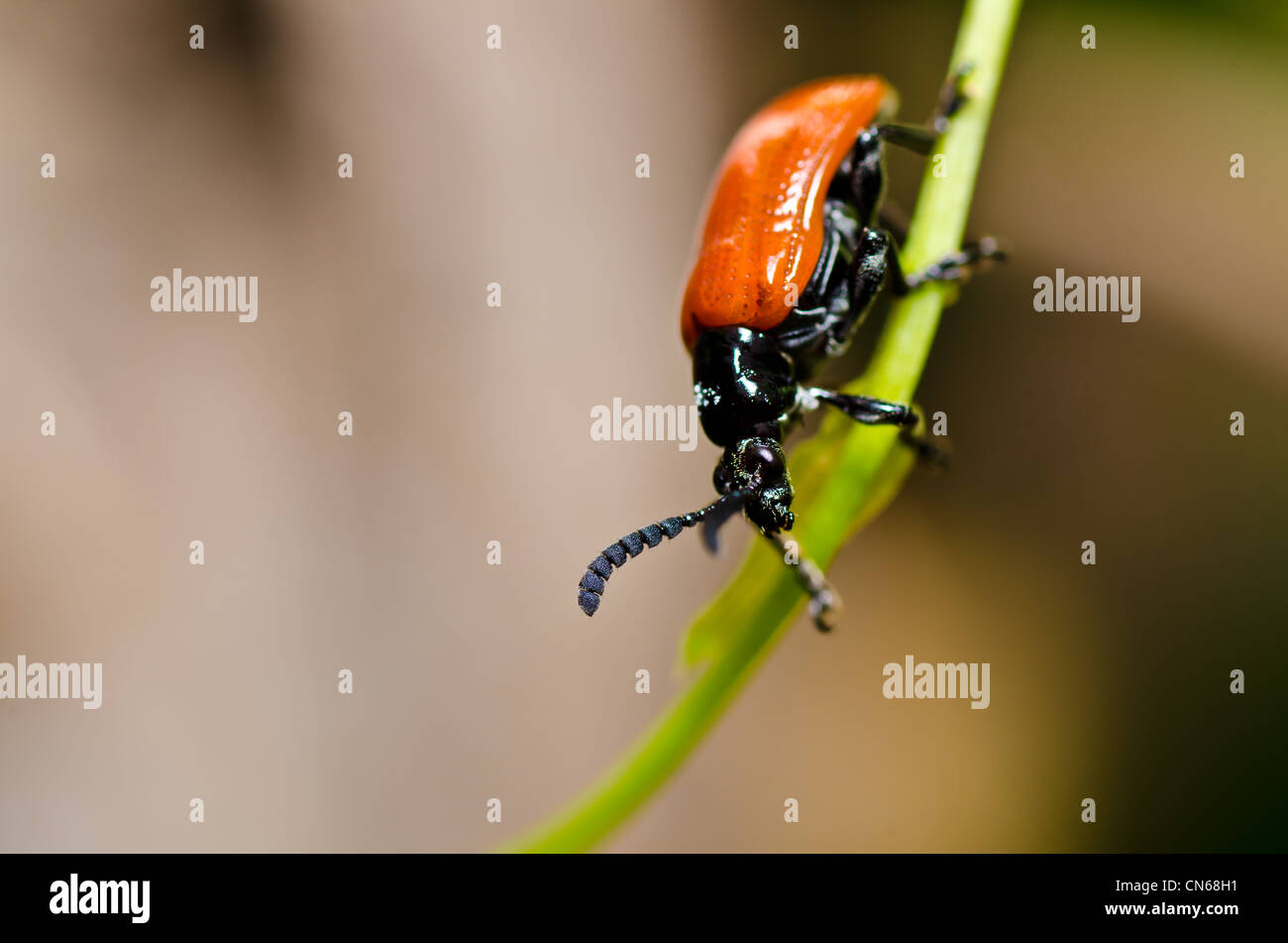 red bug in green nature or in the garden - Stock Image