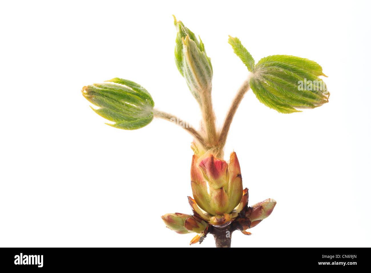 New shoot of Aesculus hippocastanum commonly known as Horse-chestnut or Conker tree. - Stock Image
