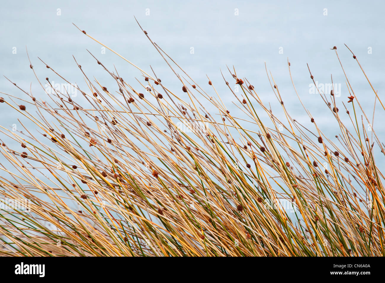 Dune grass Victor Harbour South Australia - Stock Image