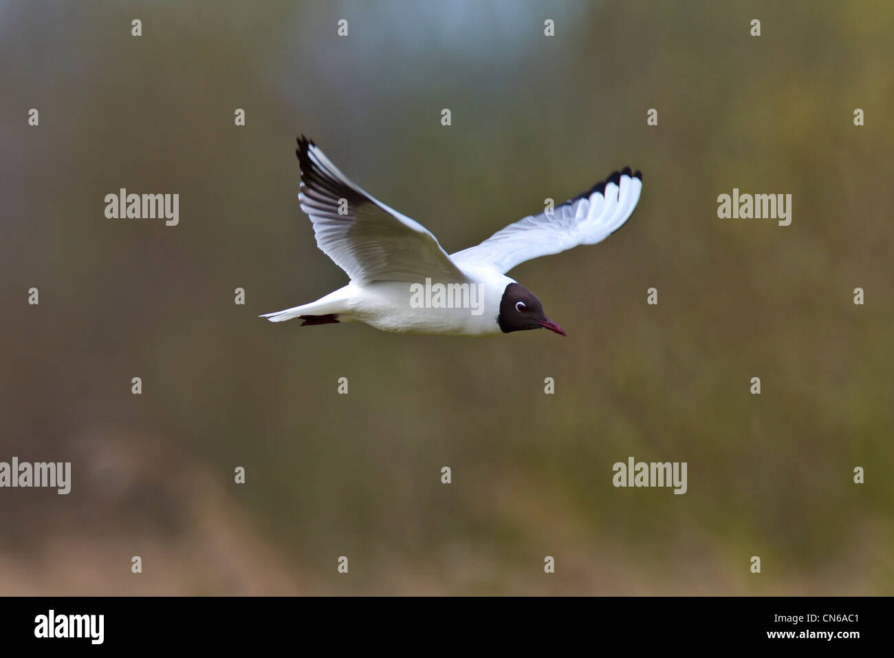 Black-headed Gull.Larus ridibundus (Laridae) in flight - Stock Image
