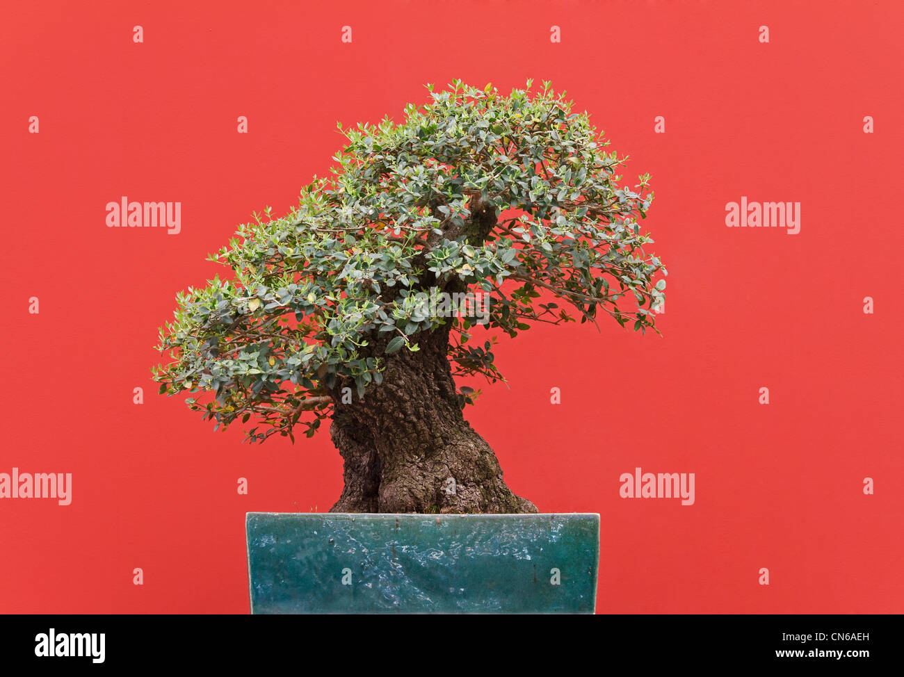 very old Zelkova bonsai over red background - Stock Image