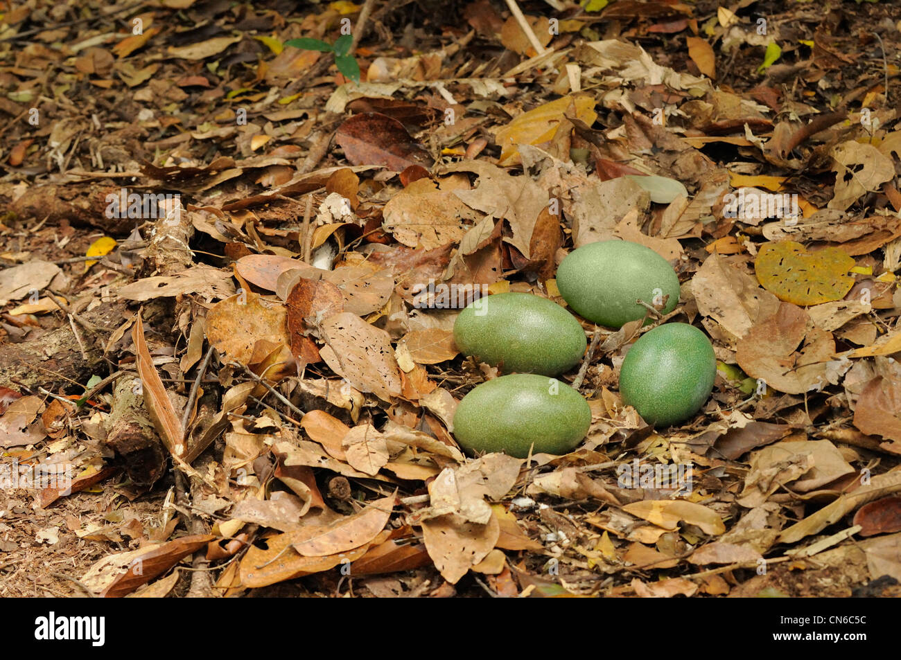 Southern Cassowary Casuarius casuarius Nest with four eggs Photographed in the Wet Tropics, north Queensland, Australia - Stock Image