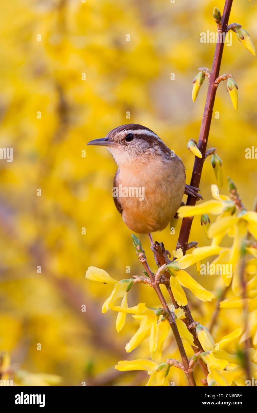 Carolian Wren in Forsythia Bush Flowers - Stock Image