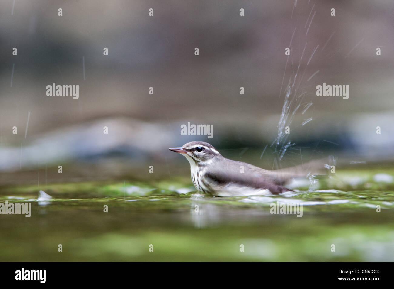Louisiana Waterthrush in stream - Stock Image