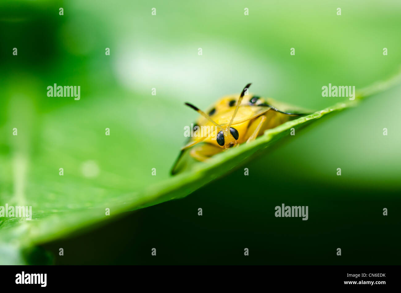 orange beetle in green nature or the garden - Stock Image