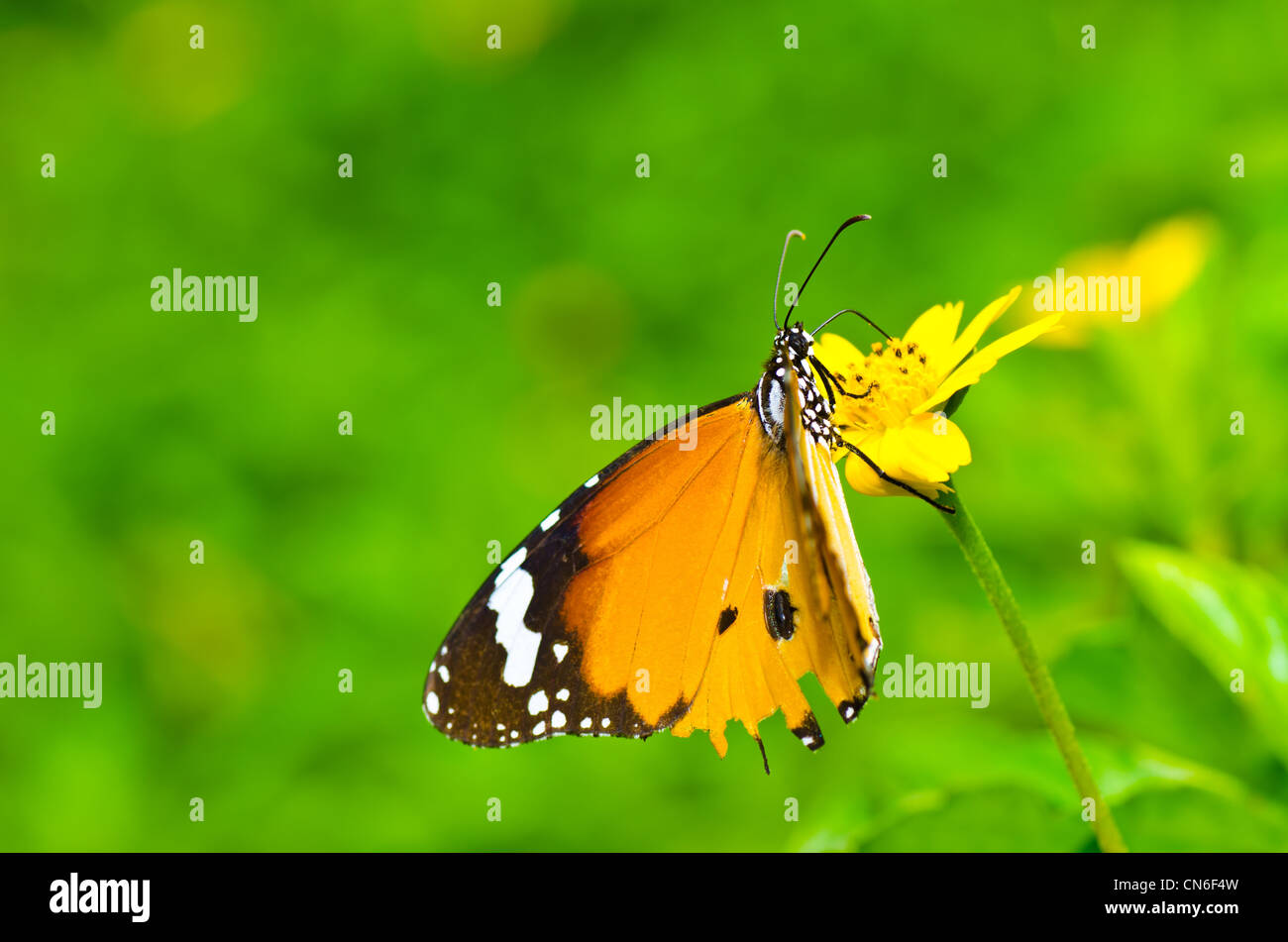 butterfly in green nature or in the garden - Stock Image
