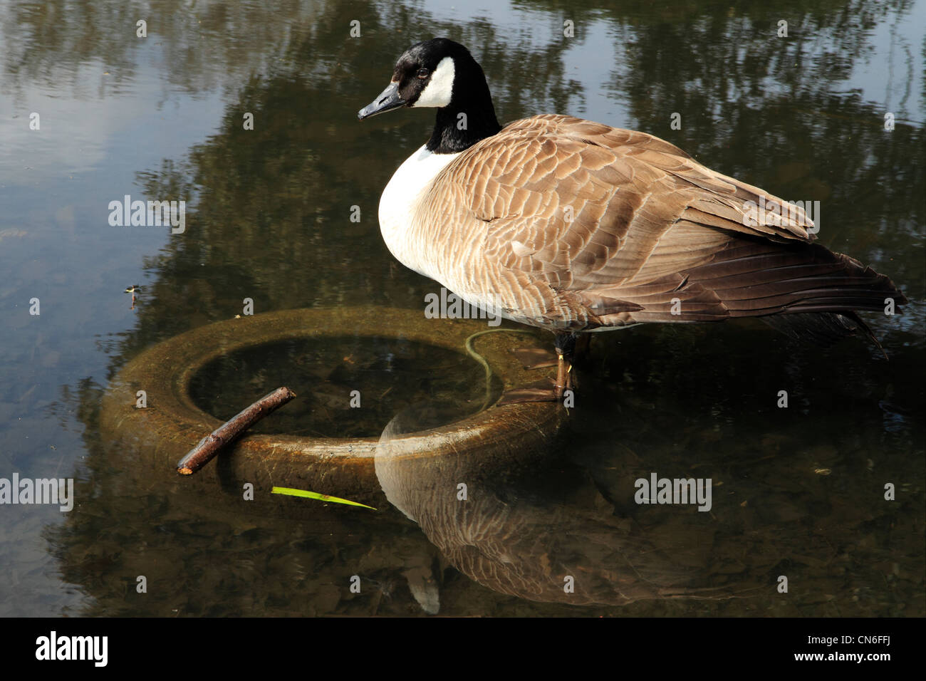 Canada Goose (Branta canadensis) standing on submerged tyre in stream, Kent, UK - Stock Image