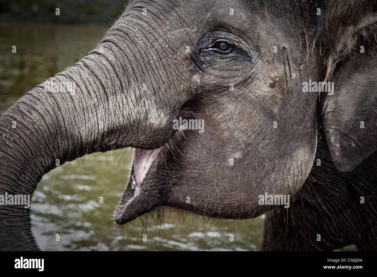 Close up of elephant head. Bali Indonesia. - Stock Image
