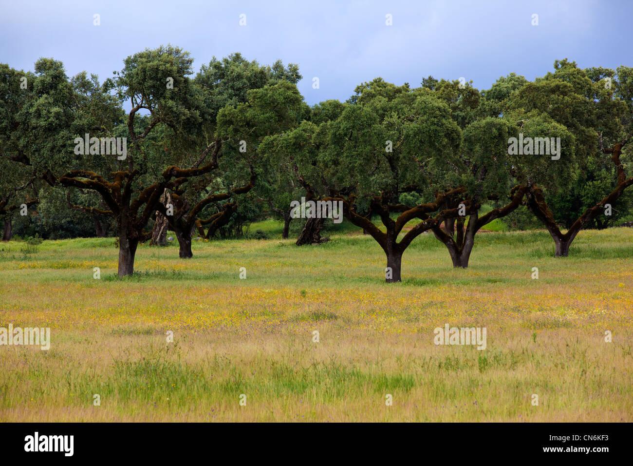 Portugal, Alentejo  tree Stock Photo