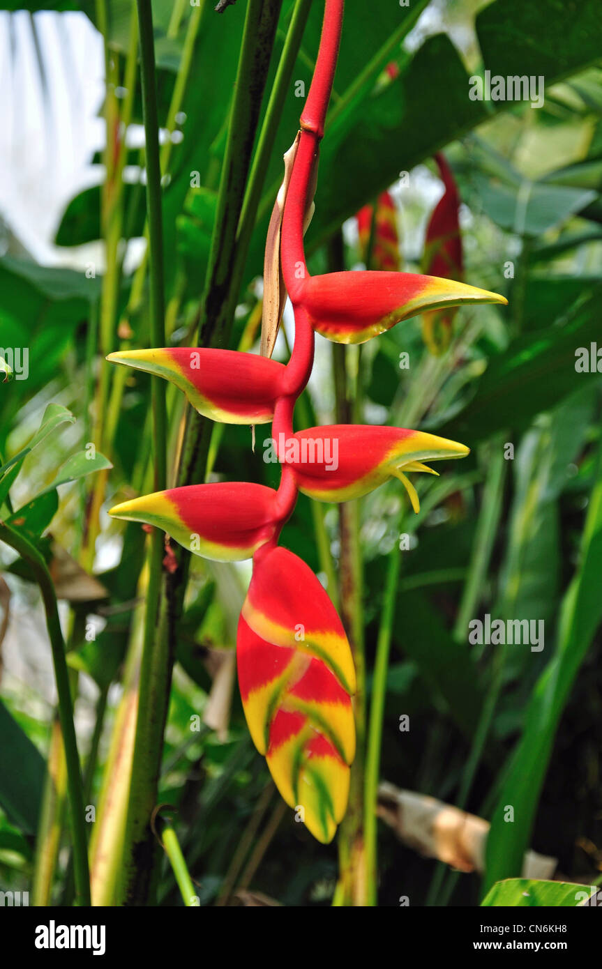 Heliconia rostrata (Lobster claw, False-bird-of-paradise) in Orchid Farm near Chiang Mai, Chiang Mai Province, Thailand - Stock Image