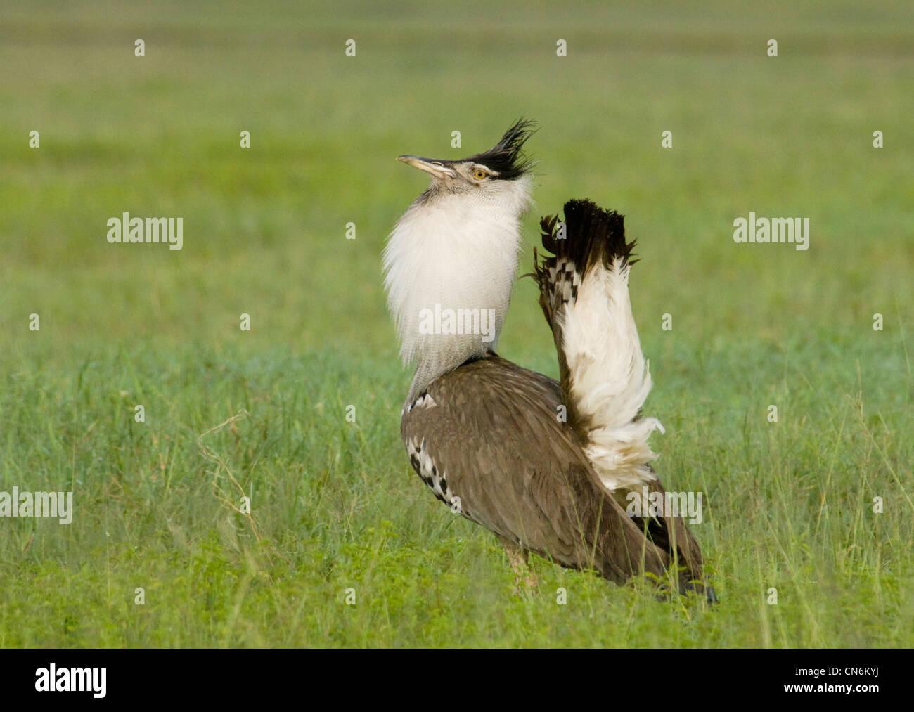 Kori bustard in courtship display Stock Photo