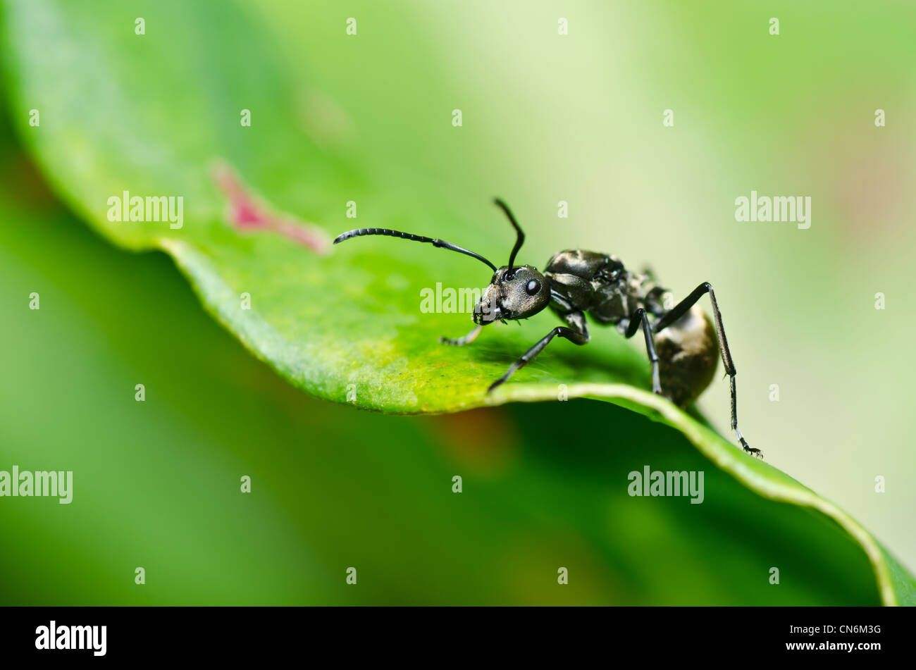 black ant in green nature or in the garden - Stock Image