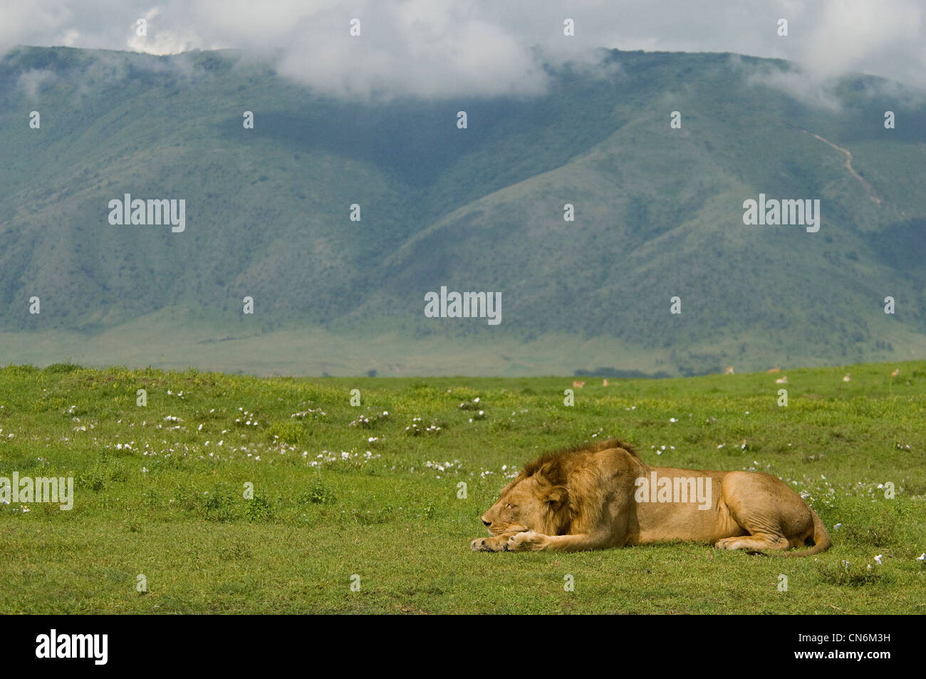 Lion resting in plains - Stock Image