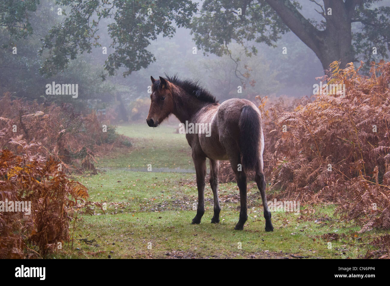 New Forest Pony (Equus caballus) in early morning mist and surrounded by autumn bracken, in the New Forest, Hampshire. - Stock Image