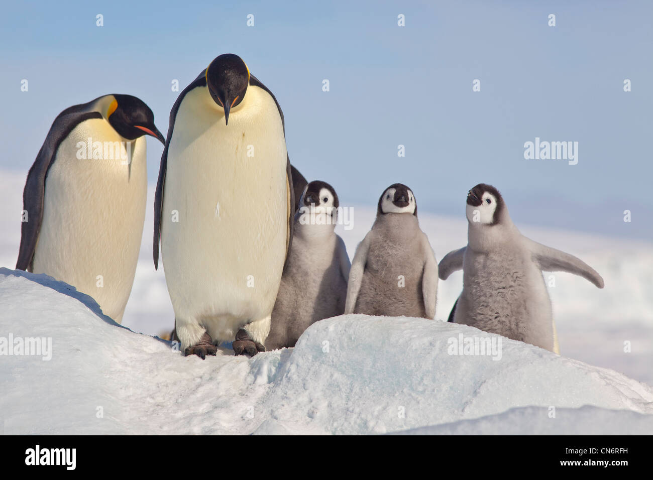 Emperor penguins with chicks - Stock Image