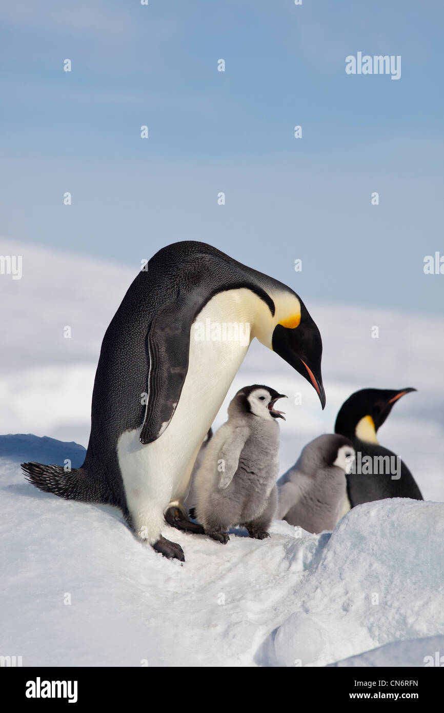 Emperor penguins and chicks - Stock Image